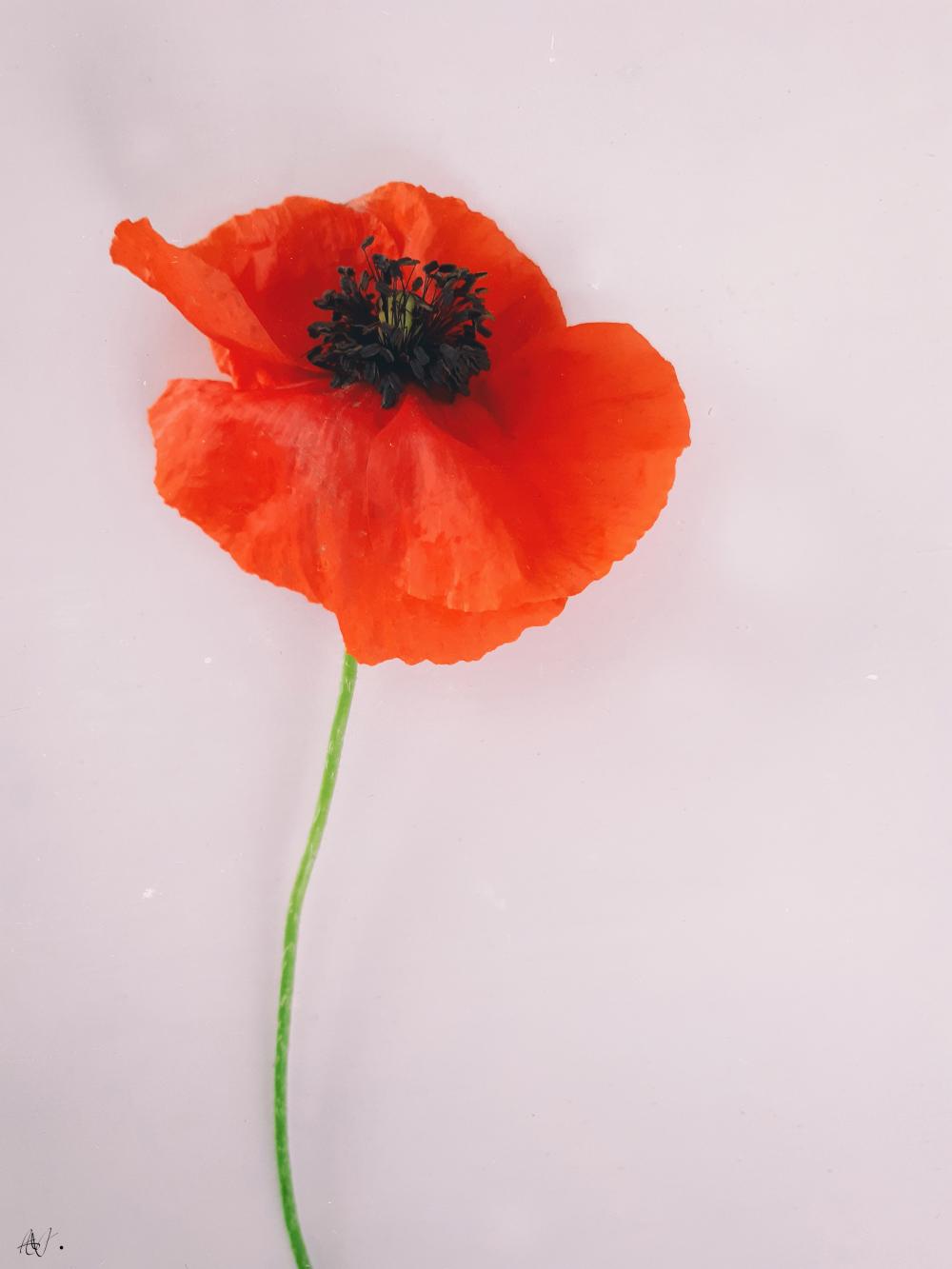 A beautiful poppy