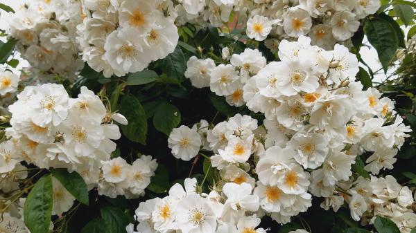 The fragrant Rose