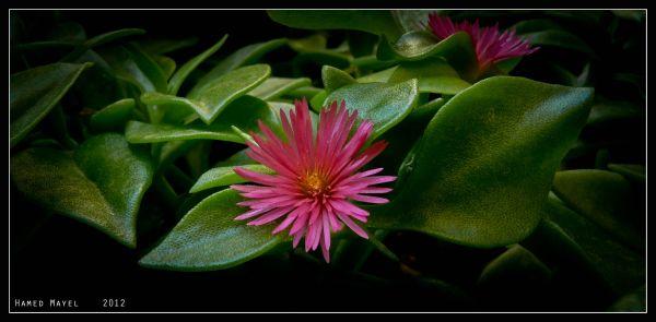 گل ناز 2