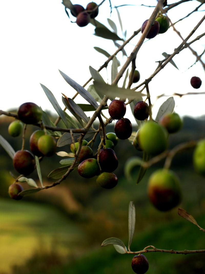 Olivetree Collevecchio Lazio Italy