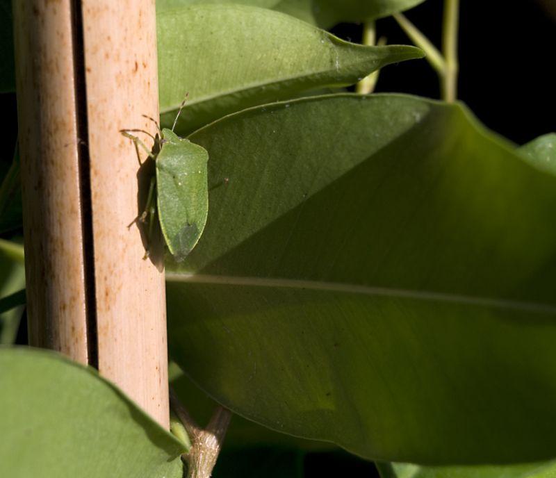 Bernat pudent verd