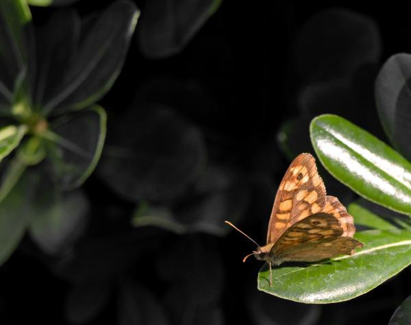 papallona IV