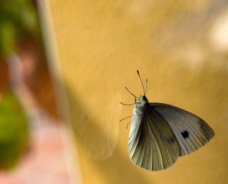 papallona V