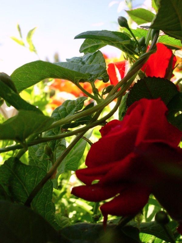 artsy wild rose photo