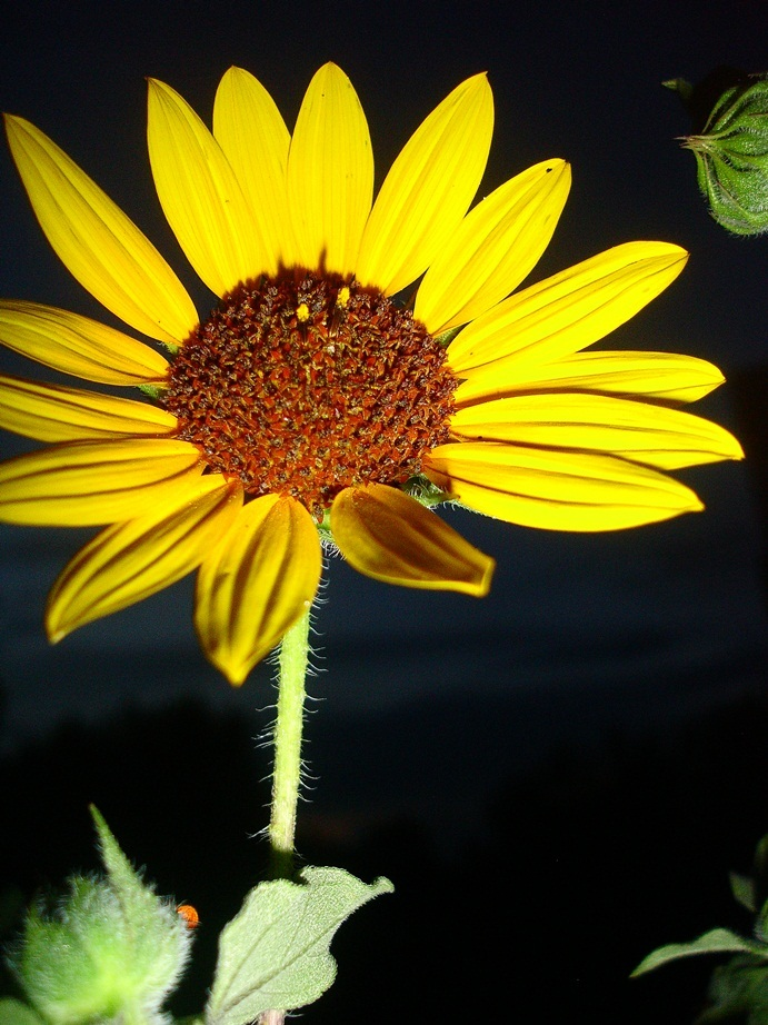 fine art photographer shot of a sunflower at dusk
