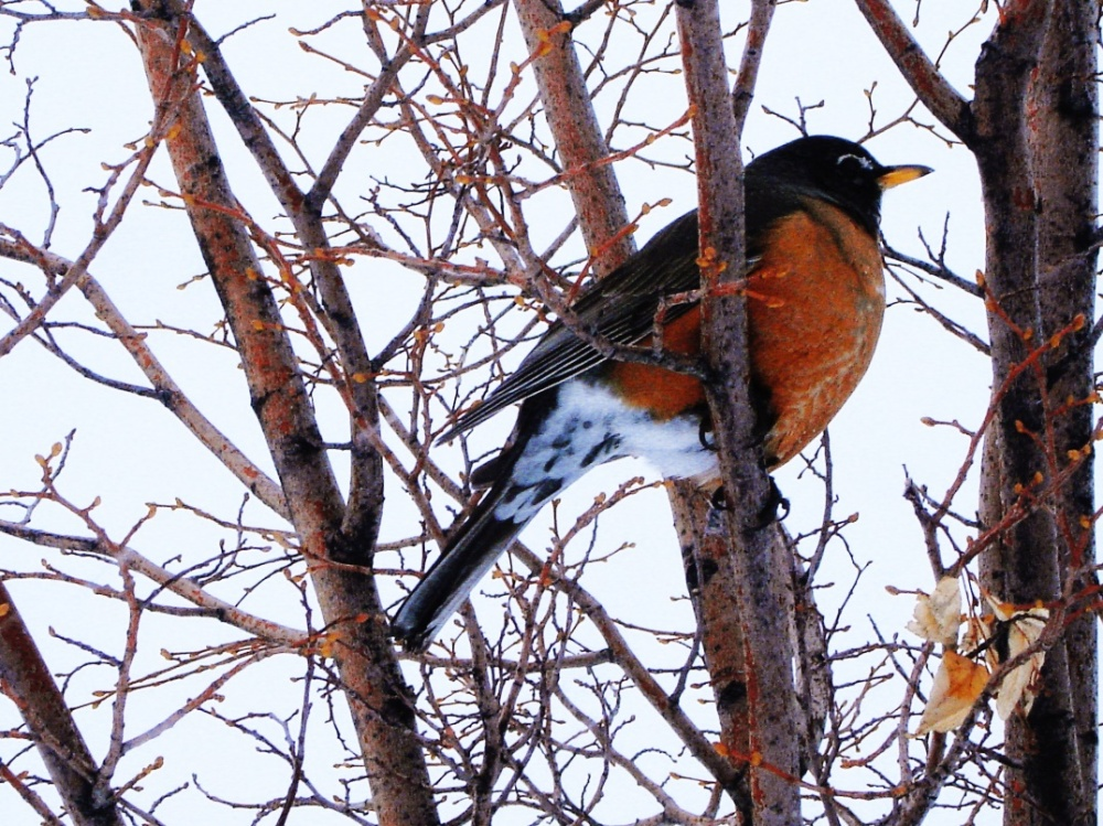 photo of a robin during a snowstorm in winter time