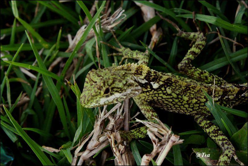 a lizard, green lizard