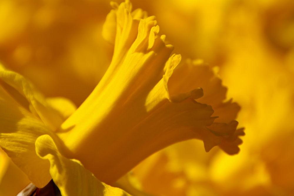 Narcís  (Daffodil)
