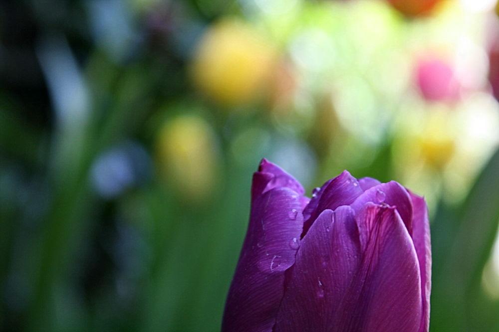 Tulipa (3)