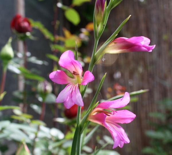 Lliris dels Blats (Gladiolus segetum)