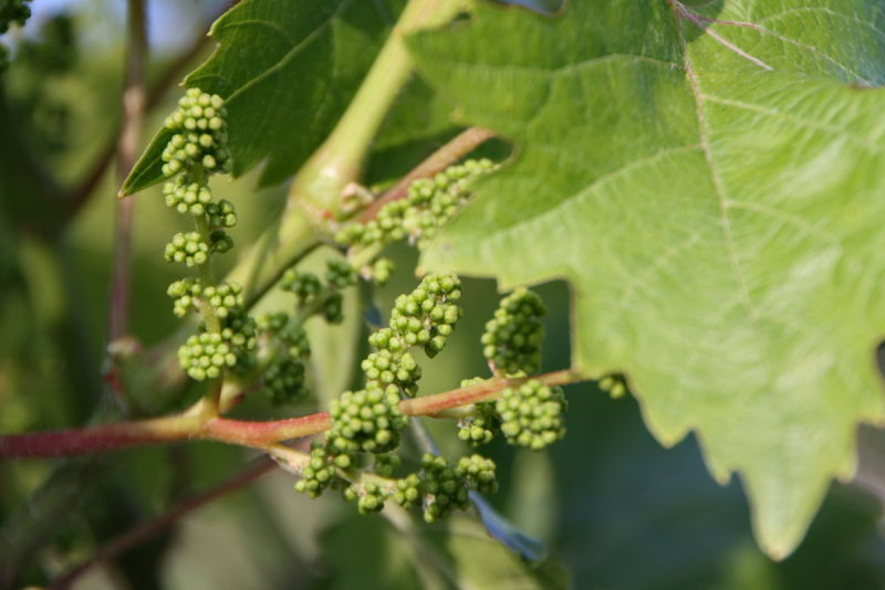 Raïm (Grape)