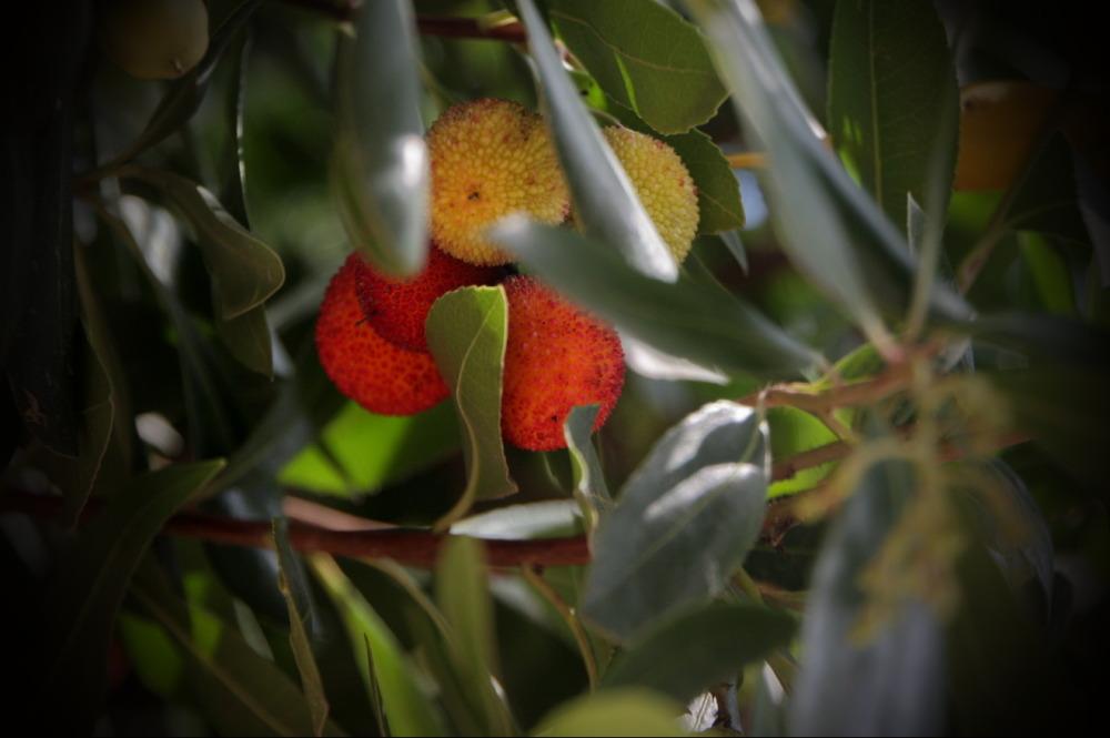 Cireres de pastor (Strawberry Tree)