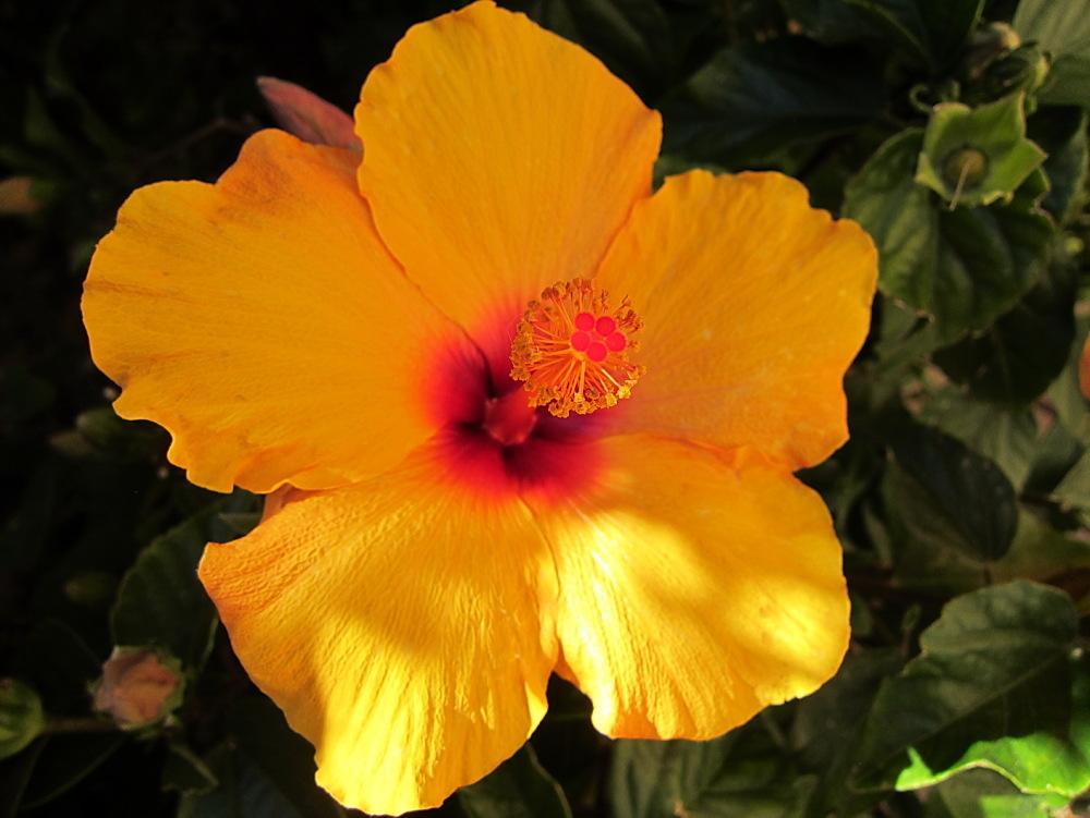 Hibiscus groc