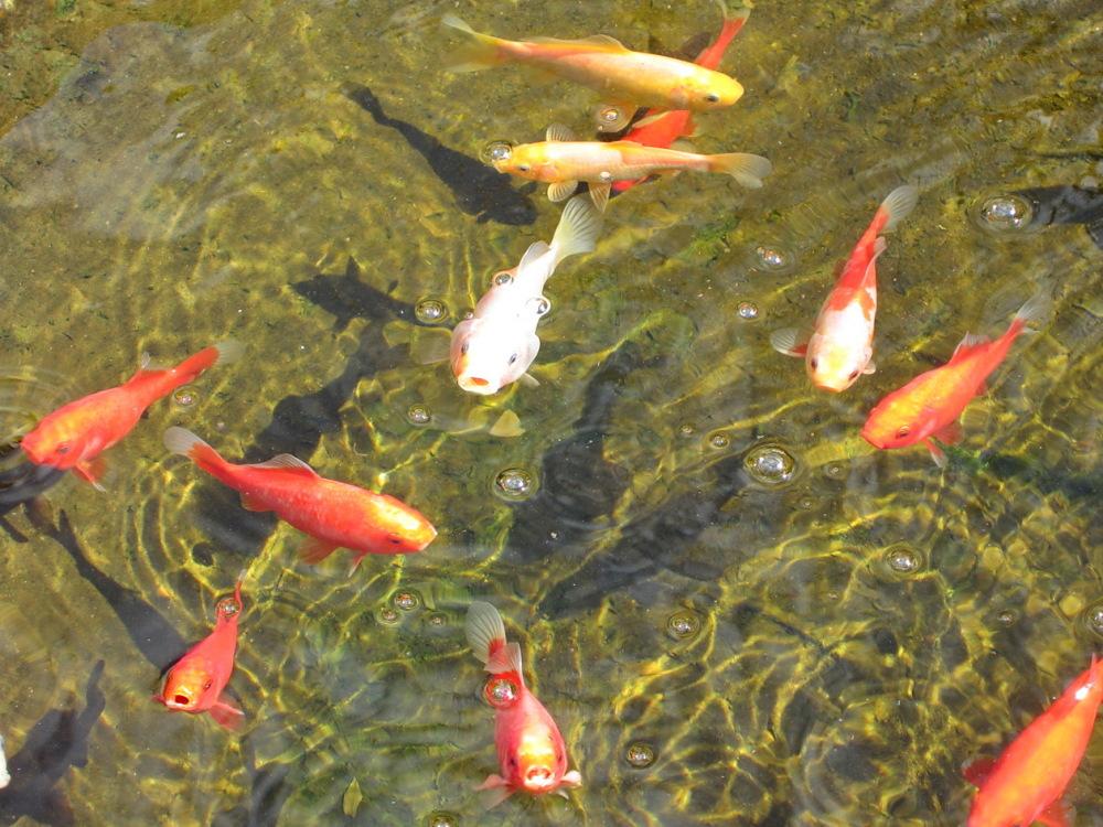 Els meus peixos i les seves ombres