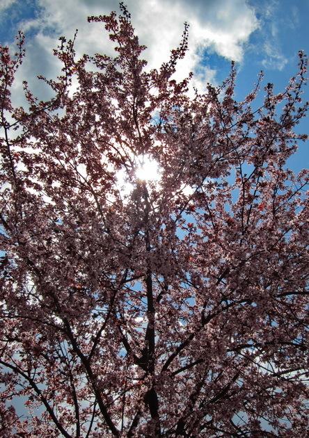 Contrallum primaveral