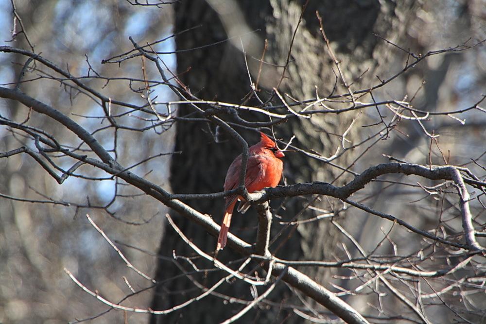 Cardinal, for Elaine.
