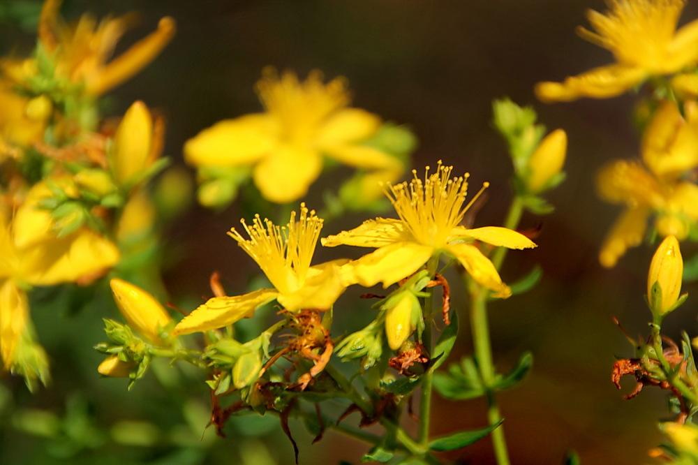 Flor de Sant Joan