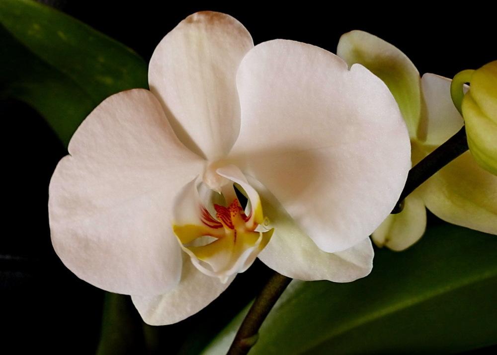 Les primeres, aquest any: Phalaenopsis