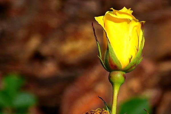 16è Concurs Internacional de Roses Noves (2/5)