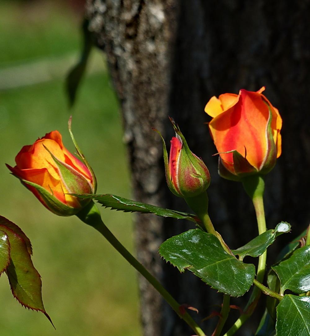 16è Concurs Internacional de Roses Noves (4/5)