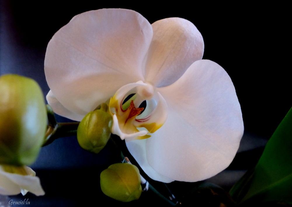 Les primeres de l'any: Phalaenopsis