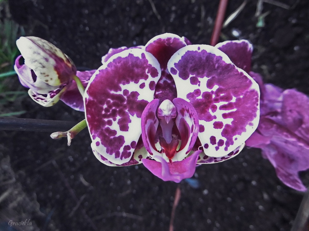 Una altra orquídea