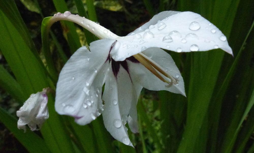 Després de la pluja. (Gladiol d'Etiopía)