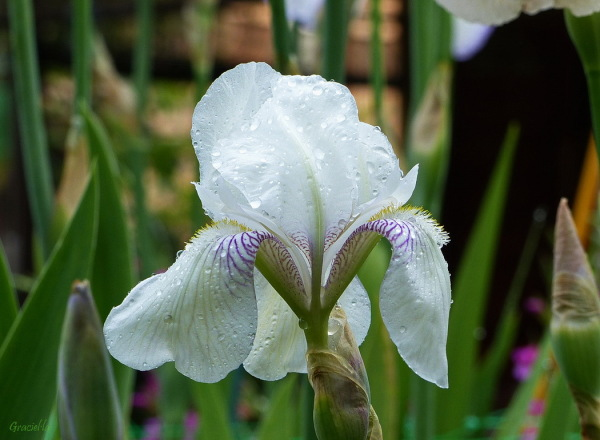 Iris germanica English Cottage
