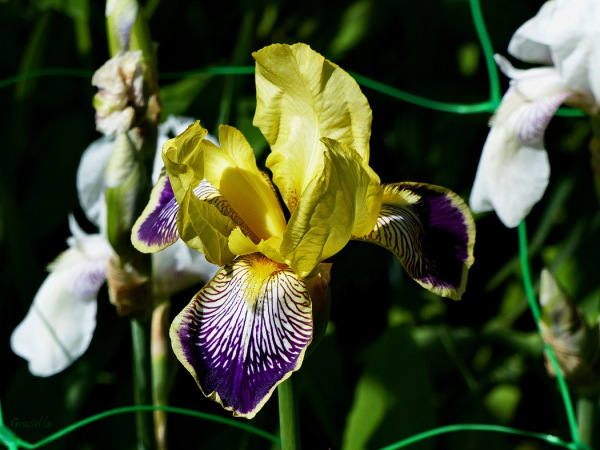 Iris germanica Loreley