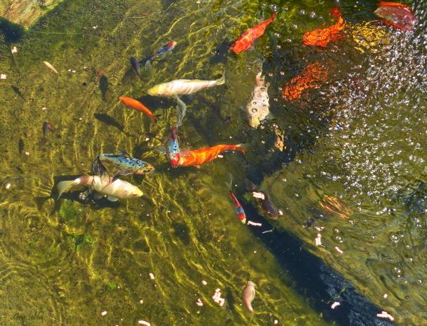 Els nostres peixets