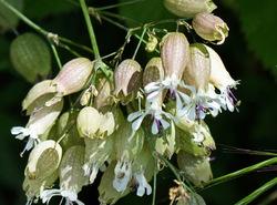 Cascavells (Silene vulgaris)
