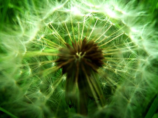fleur de pissenlit yeux percés