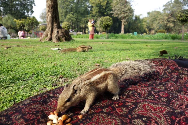 indian squirrel cheeky cute