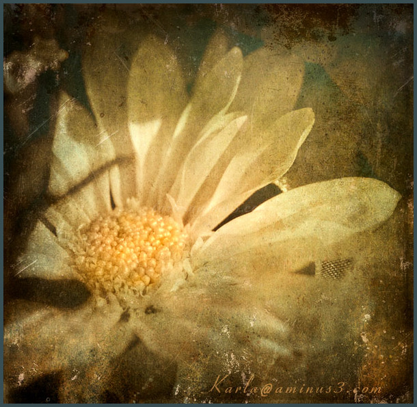 chrysanthemum with texture applied