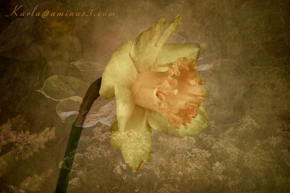 yellow and appricot daffodil with texture layers