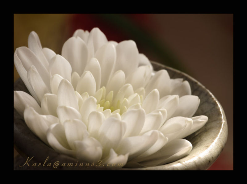 white chrysanthemum blossom on the top of a vase