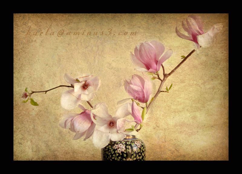 magnolia blossoms on a branch