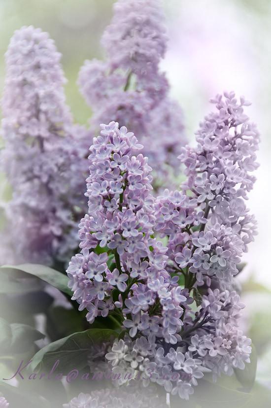 purple lilacs, shrub, flower