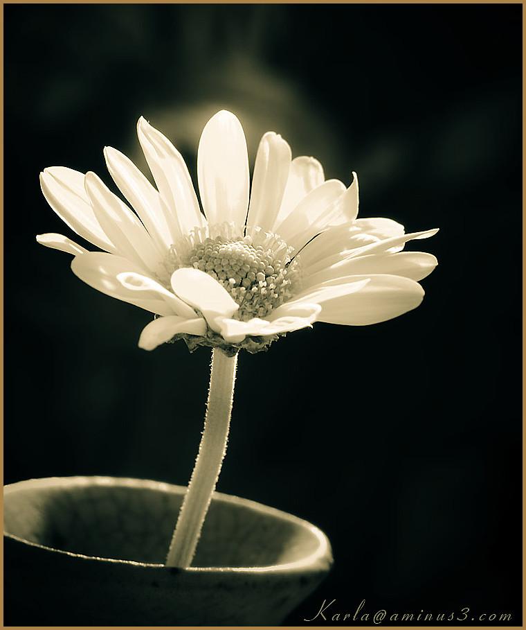 flower, daisy, white, toned