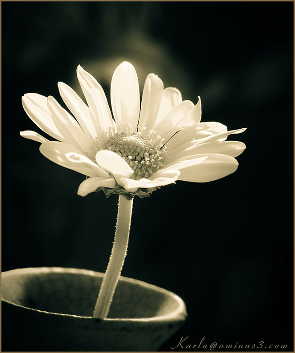 flower, daisy, white, toned