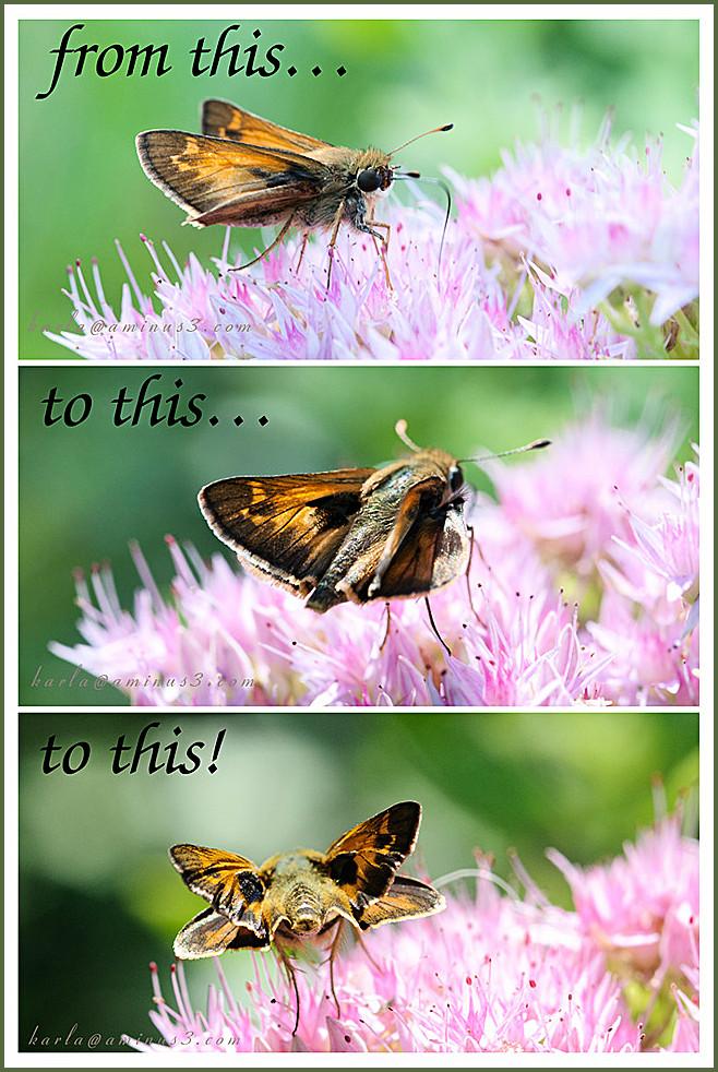 insect, garden, skipper, Nebraska