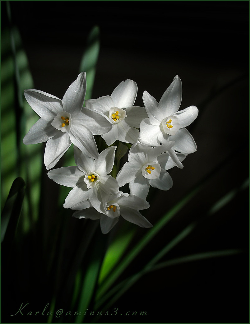 paperwhites flowering inside