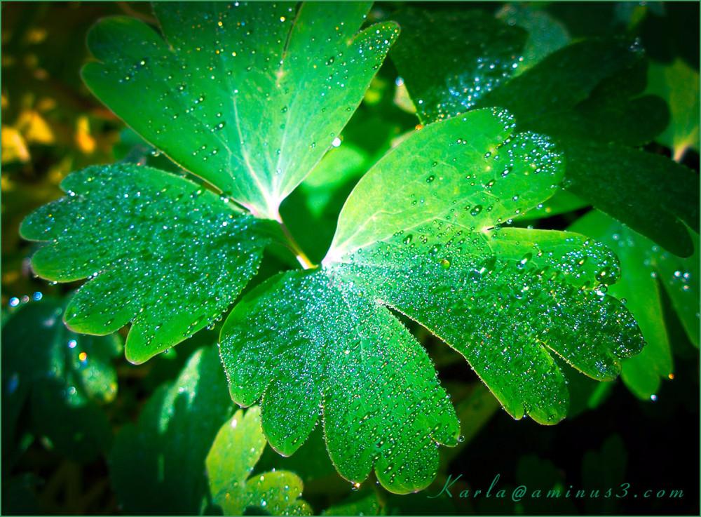 plant, columbine, dew, green