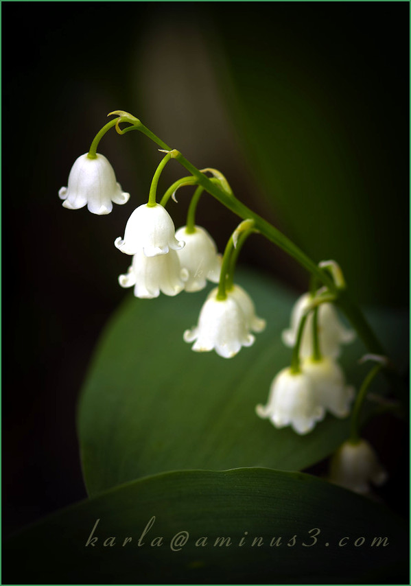 Flower, Spring, lily-of-the-valley