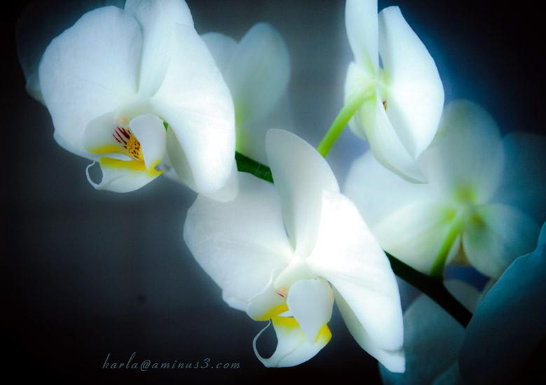 Phalaenopsis, orchid, white