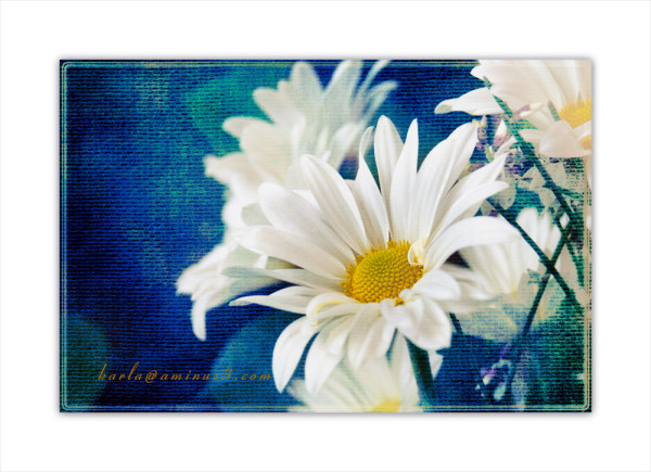 daisy, white, texture