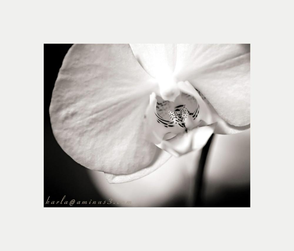 Phalaenopsis, orchid, white,