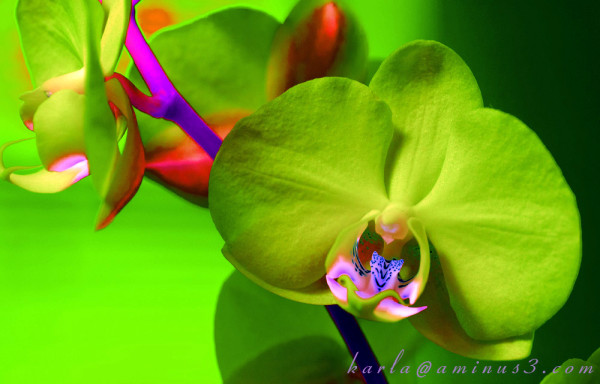 Phalaenopsis, orchid, altered-color