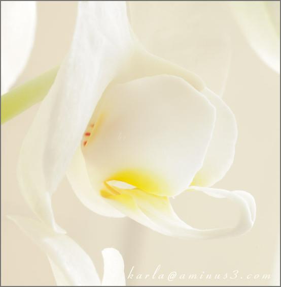 Phalaenopsis, orchid, white, macro