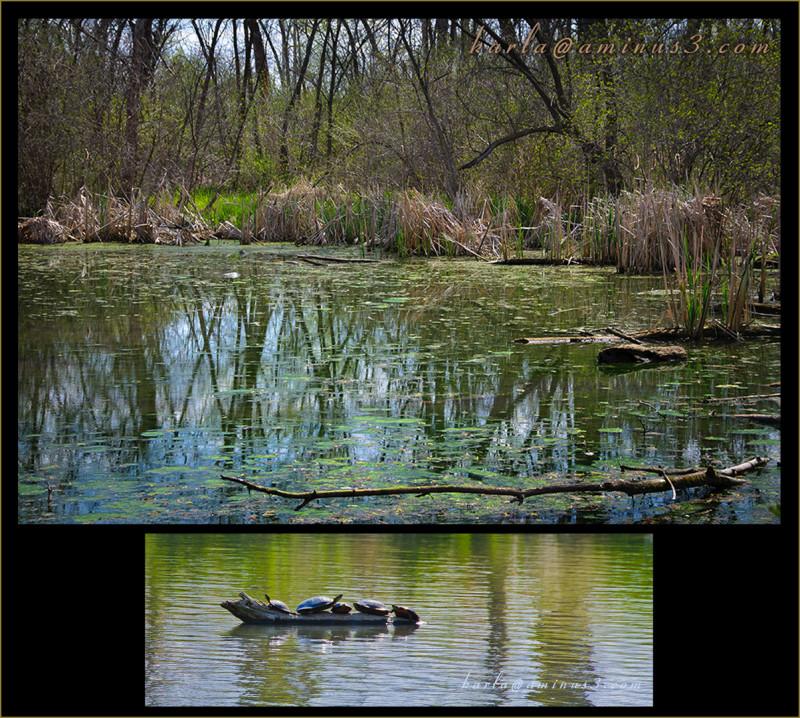 wetland, sanctuary, Heron-Haven, turtle